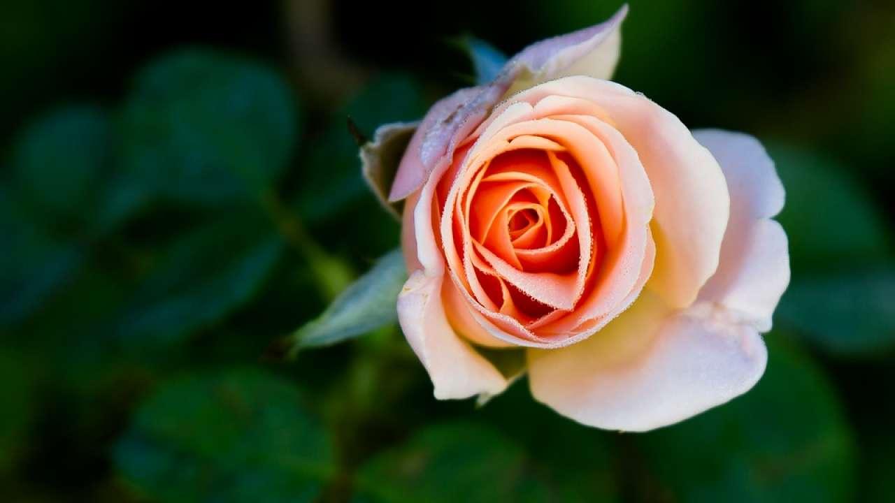 peach-rose1