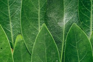 KRATOM: The All Natural Substitute For Pain Pills